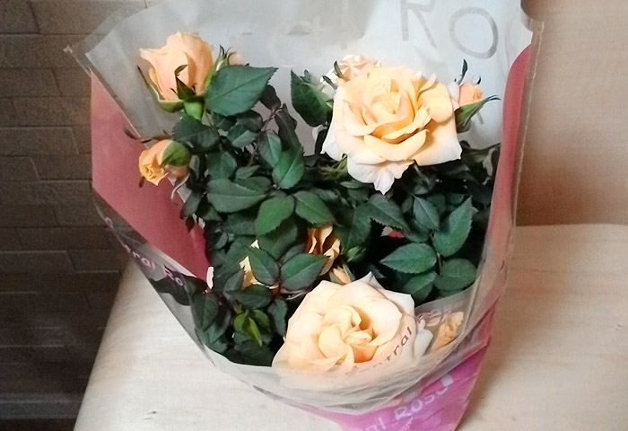 バラの鉢植え(216円)