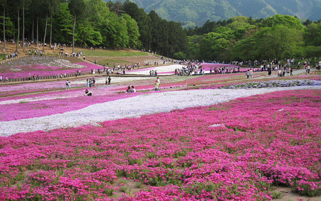 羊山公園の「芝桜の丘」